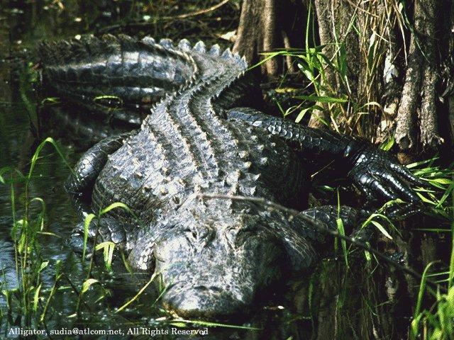 Alligator found in