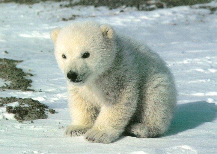 Cute-PolarBear-Cub-SittingOnSnow.jpg