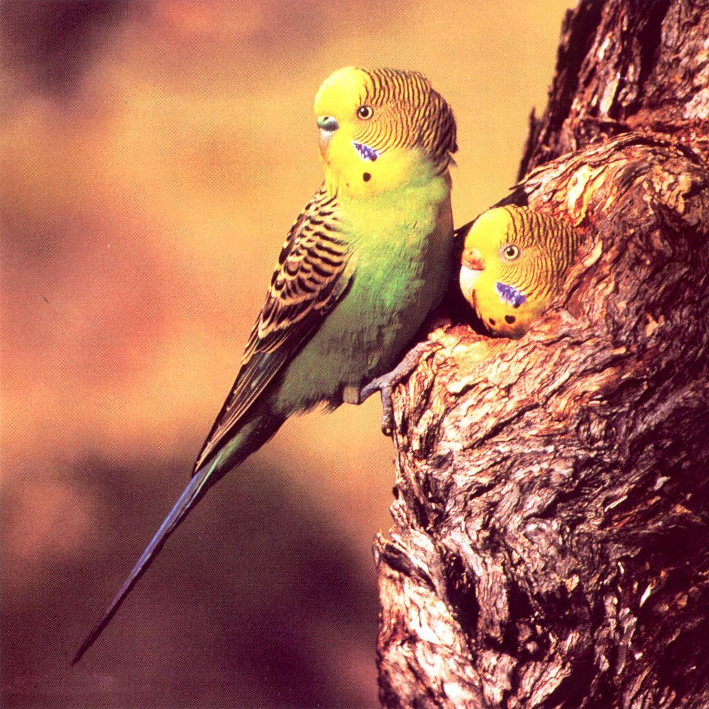 مرغ عشق در طبیعت