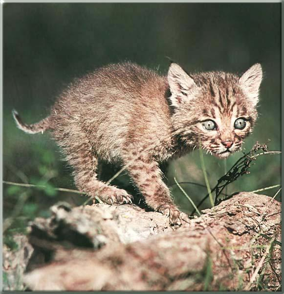 baby black bobcat