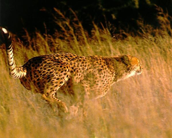 http://animals.timduru.org/dirlist/cheetah/cheetah01-FastRun.jpg