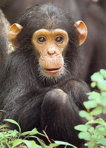Random Picture Thread. Chimpanzee02
