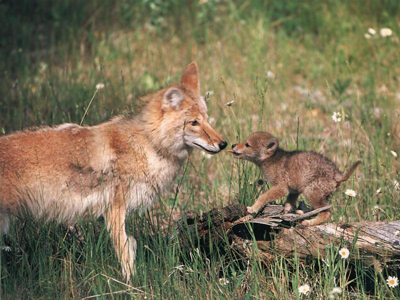 Newborn Coyote Index of /dirlist/coyo...
