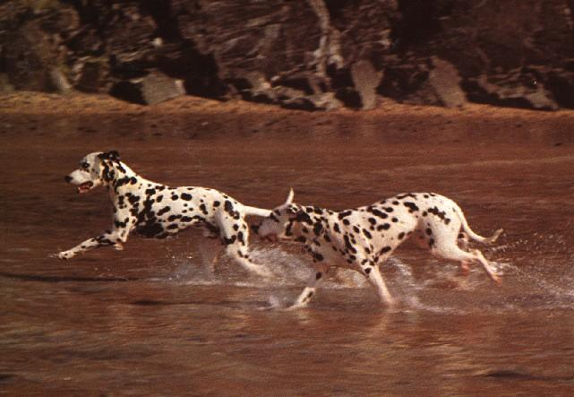 2DalmatianDogs-Running-InStream.jpg