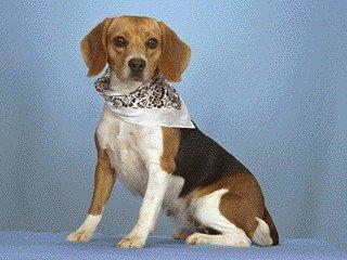 Beagle-Dog-Closeup