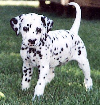 http://animals.timduru.org/dirlist/dog/DalmatianDog-Puppy-Tache2.jpg