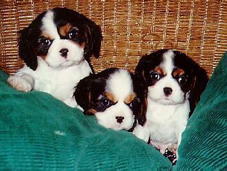 Dog-3CutePuppiesInBasket-10626.jpg