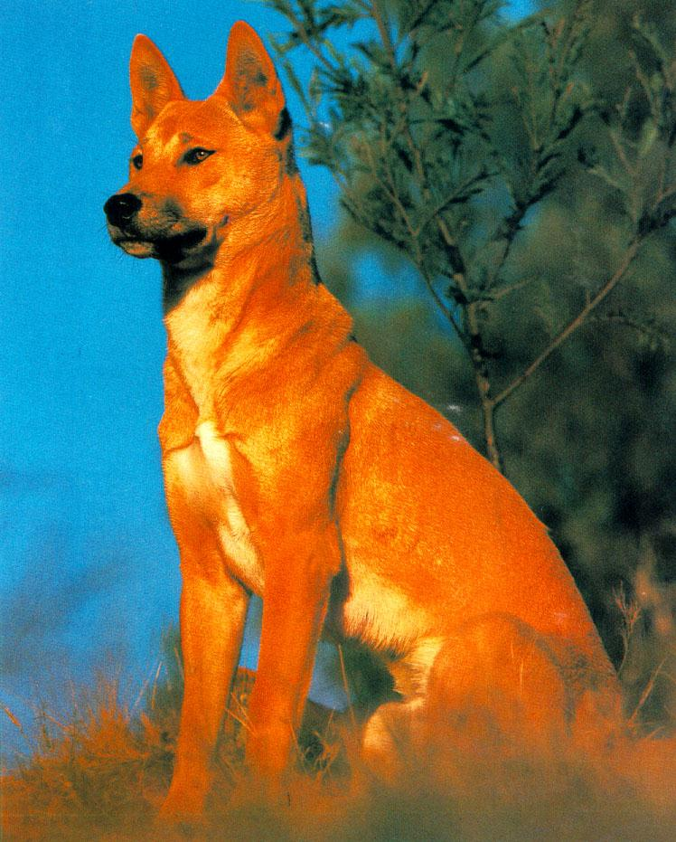 http://animals.timduru.org/dirlist/dog/wffm040-WildDog-Dingo.jpg