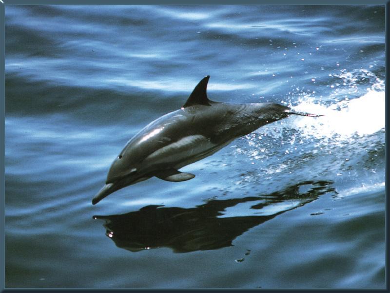 معلومات عن بعض انواع الدلافين COMMONDOLPHIN_01-INFLIGHT