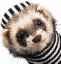 Ferret-Face-Dressed.jpg