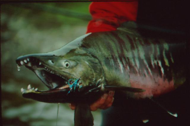 Fish-ChumSalmon2.jpg