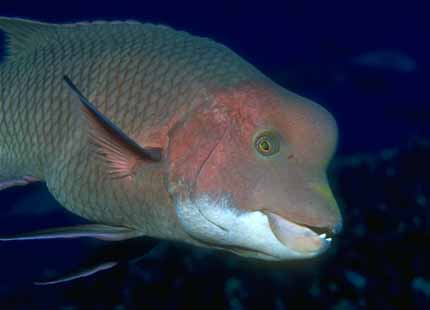 Galapagos_Fish_07-WeirdBuffheadFish.jpg