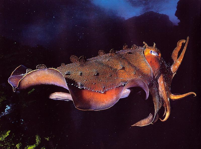 GiantCuttleFish-Swimming.jpg