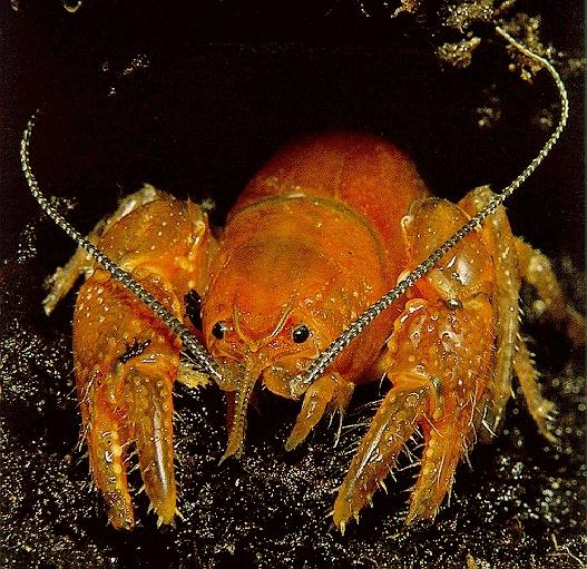 SpinyLobster-crayfish.jpg