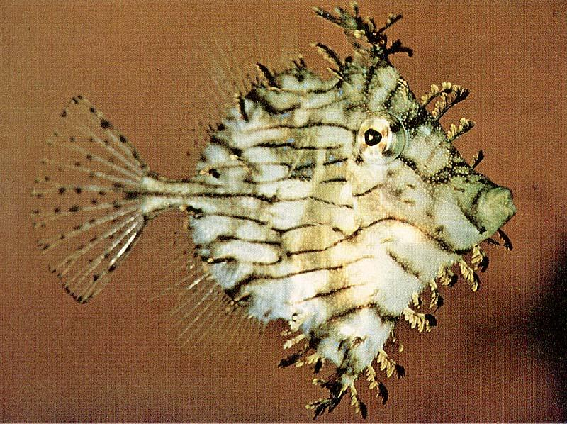 TropicalFish17-Leafy-TriggerFish.jpg