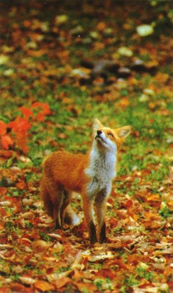 Design automne Redfox_Autumn_LookUp