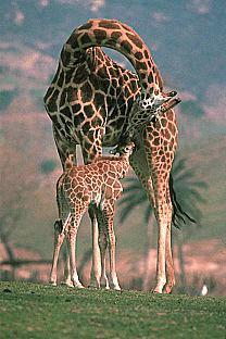 اجمل صور الزرافه Giraffes, صور منوعه لحيوان الزراف في الغابة