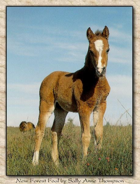 http://animals.timduru.org/dirlist/horses/WildHorses_005-NewForestPony-Foal-Closeup.jpg
