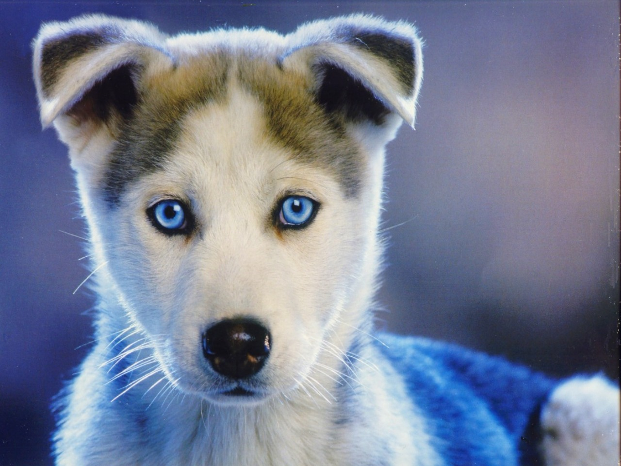 Blue-eyed puppy by Serval on DeviantArt