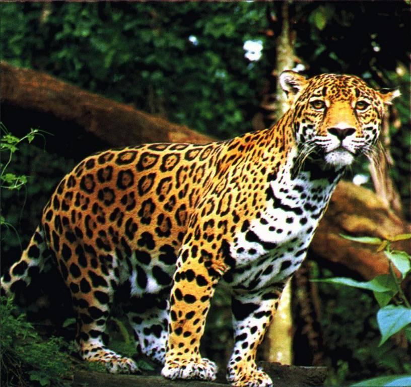 jaguar standing - photo #1