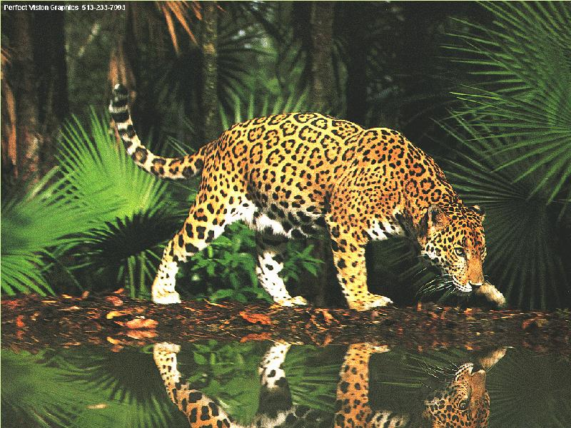 http://animals.timduru.org/dirlist/jaguar/PV-Jaguar-InJungle-WaterMirror.jpg