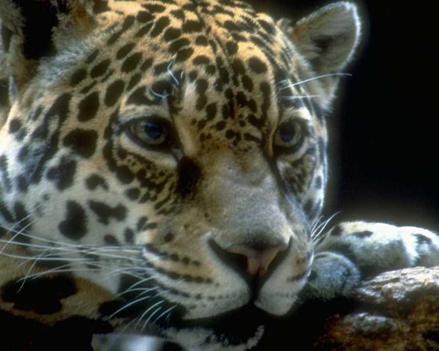 http://animals.timduru.org/dirlist/jaguar/anmwi065-Jaguar-FaceCloseup.jpg