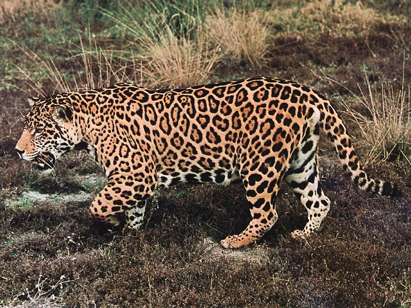 Jaguars Habitat Fragmented and Shrinking | Wildlife
