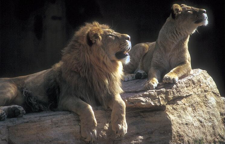 Fotografije malih i velikih mačaka - Page 2 253067-LIONS-COUPLE_LOOKING_UP_ON_ROCK