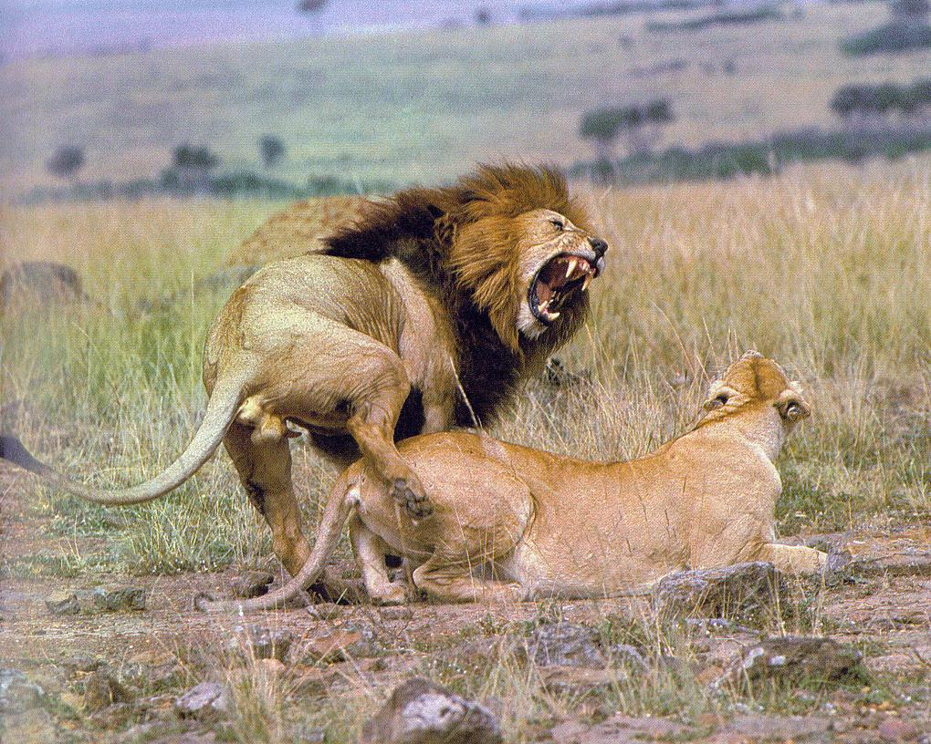 Lions-Couple-Mating2.jpg