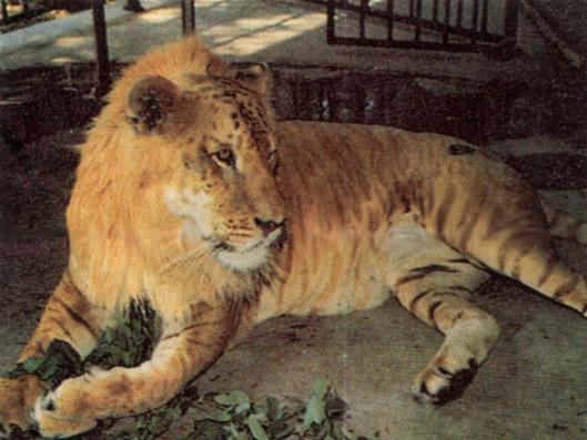 http://animals.timduru.org/dirlist/lions/Tiglon.jpg