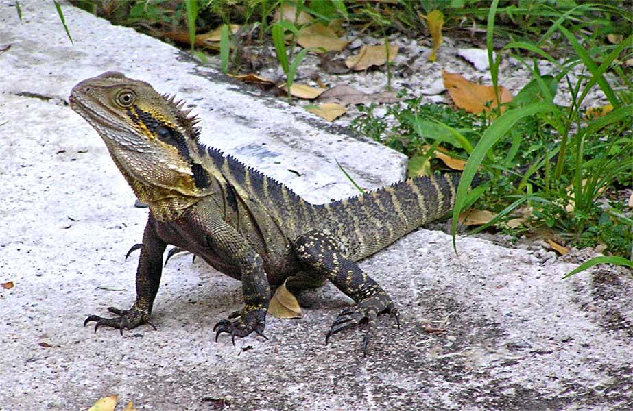 http://animals.timduru.org/dirlist/misc/105-water-dragon.jpg