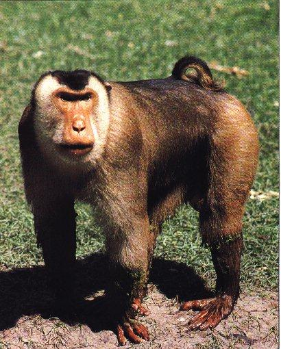 african animal pig tailed monkey wikipedia