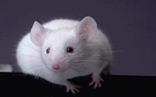 Федеральная служба охраны закупает белых мышей на...