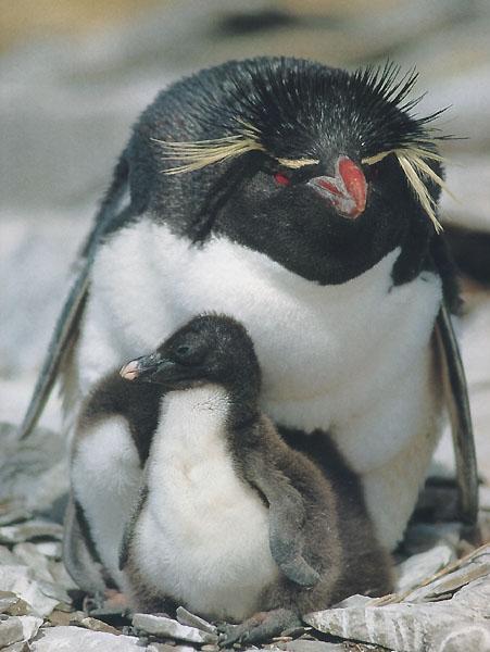Penguins Rock!!! - Types of penguins: Rockhopper Penguin ...