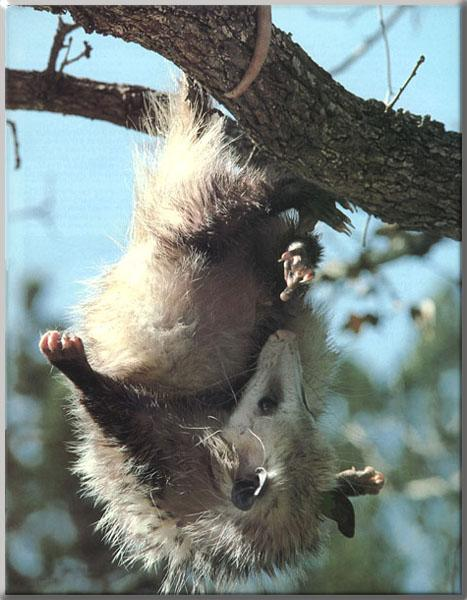 how to draw a possum hanging from a tree