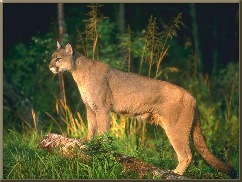 http://animals.timduru.org/dirlist/puma%20cougar/cougar%2082.jpg