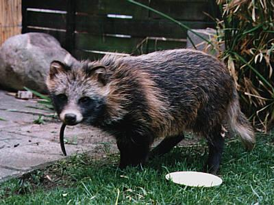 Image animals that look like raccoons download