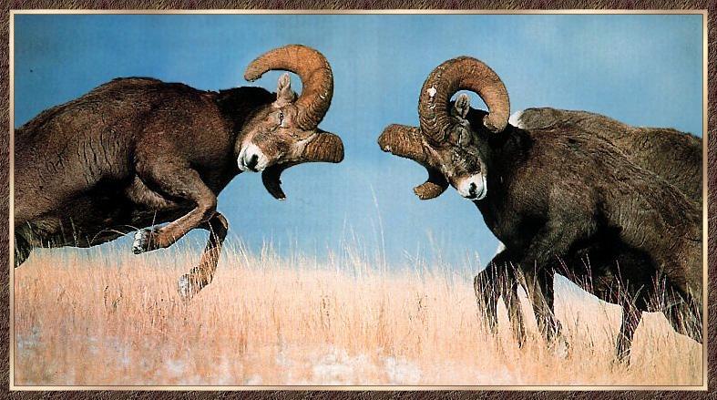 http://animals.timduru.org/dirlist/sheep/BighornSheep_06-2MaleAdults-Compete-BumpingHeads.jpg