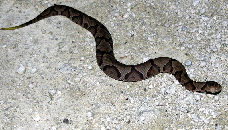 Baby Eastern Diamondback Rattlesnake