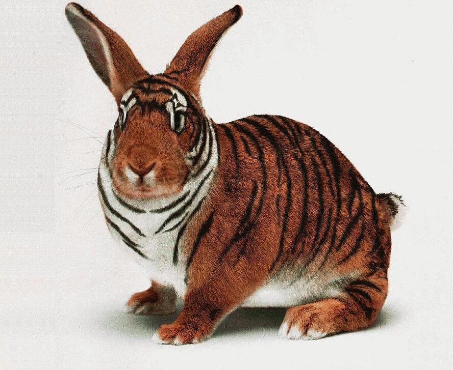 http://animals.timduru.org/dirlist/tiger/BengalRabbit-TigerBunny-Closeup.jpg