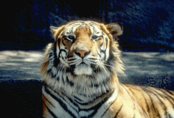 index of dirlist tiger. Black Bedroom Furniture Sets. Home Design Ideas