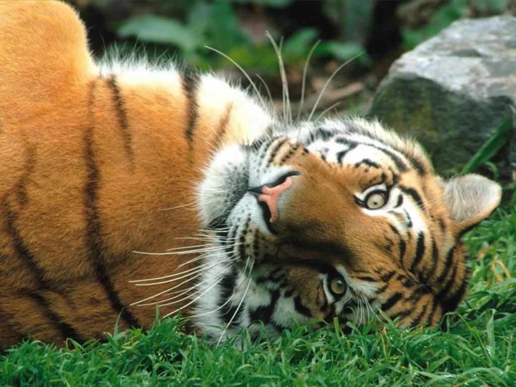 http://animals.timduru.org/dirlist/tiger/Siberian%20Tiger.jpg