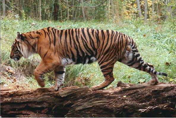 http://animals.timduru.org/dirlist/tiger/Siberian-tiger2-Walks_on_log.jpg