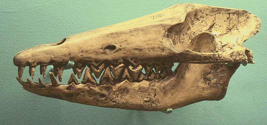 http://animals.timduru.org/dirlist/whale/ARCHAEOCETE-ANCIENTWHALE-PAKICETUS_INACHUS-SKULL.JPG