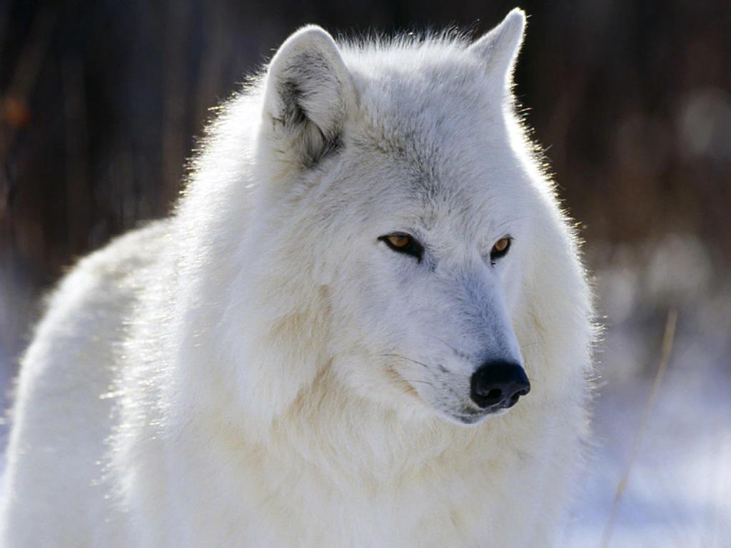 Quiet Wolves Arctic%20Wolf