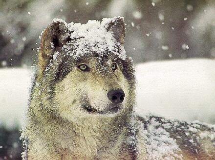 картинки гибрида лайки с волком.
