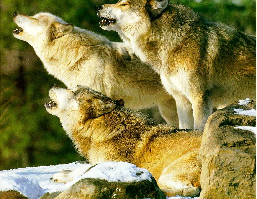 http://animals.timduru.org/dirlist/wolf/GrayWolf_Y-3Adults_Howling_OnSnow.jpg