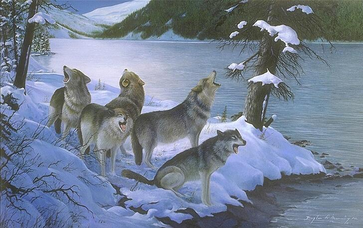 Gray wolf pack howling - photo#9