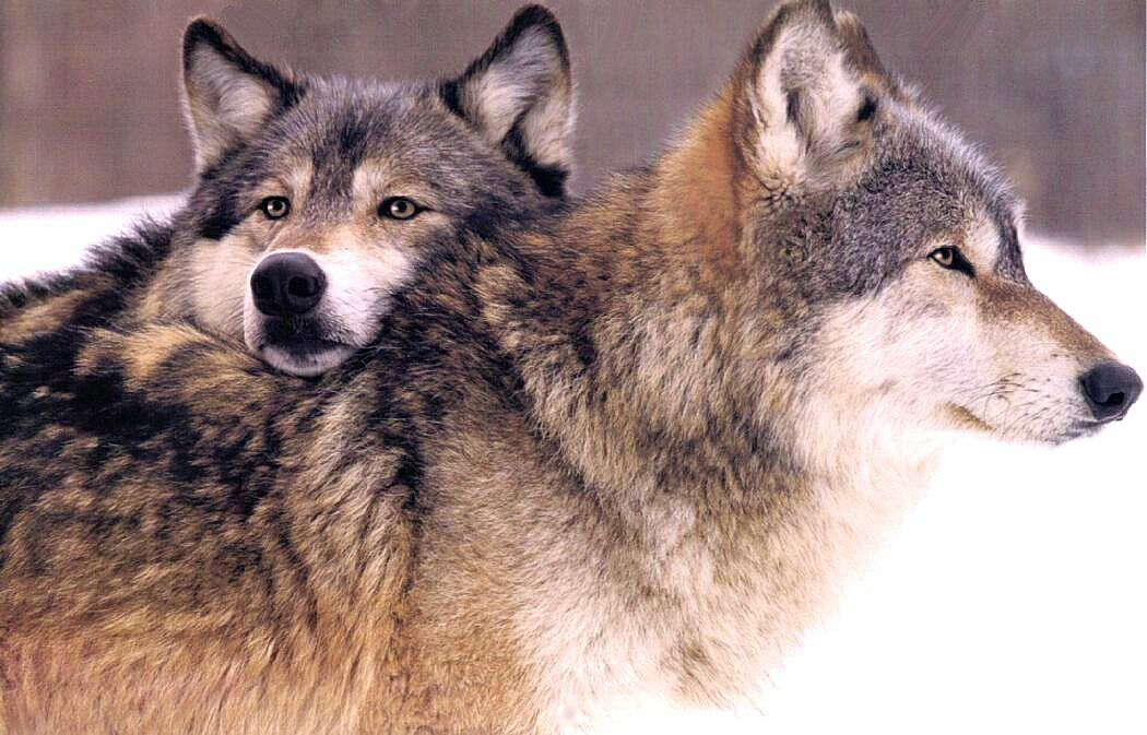 http://animals.timduru.org/dirlist/wolf/Wolf%20Head%20on%20Wolf.jpg