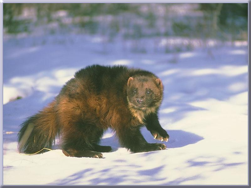 Wolverine Vs Fisher Cat